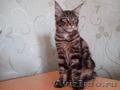 Шикарные котята мейн- кун.